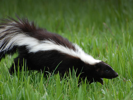 What to do When Your Puppy gets Sprayed by a Skunk