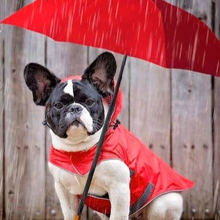 Calming your Frenchie during storms