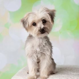 Maltipoo-dog-breed_edited.jpg