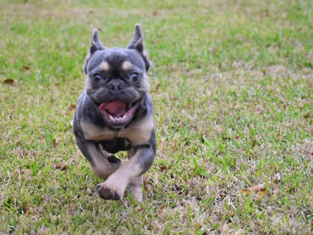 ADOPTED* Groot the Blue/Tan Frenchie