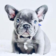Blue French Bulldog in Houston Texas