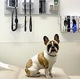 Adult French Bulldog.jpg