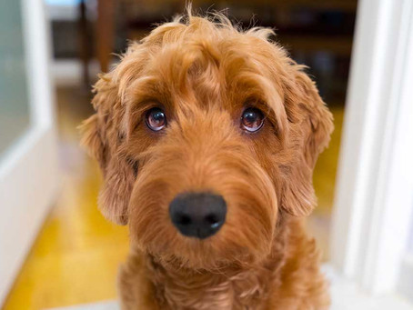 Why Golden Doodle's are Great Pets