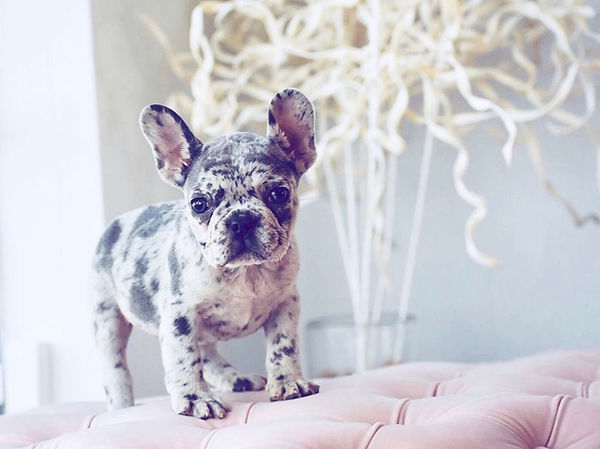 blue merle micro french bulldog