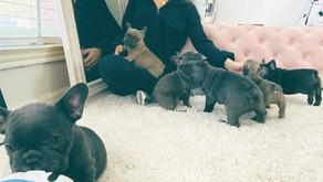 Micro French Bulldog TX: Dallas Puppy Process