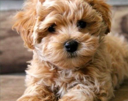 What is a Maltipoo?