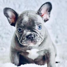 Blue Frenchie