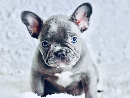 Does Your French Bulldog have Bad Breath?