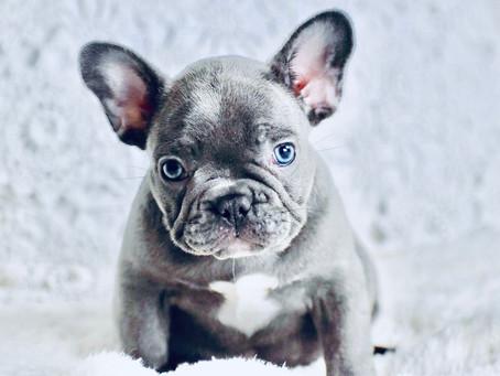5 Simple ways to treat French Bulldog dandruff