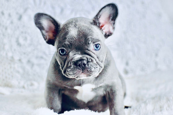 french bulldog puppy pet store houston texas