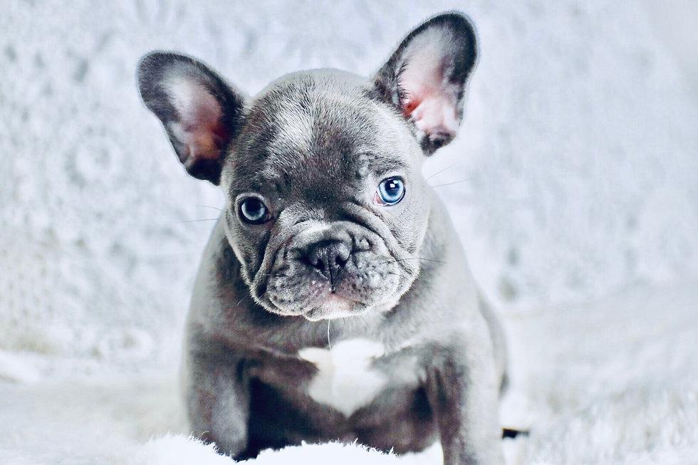 french bulldog pet store houston