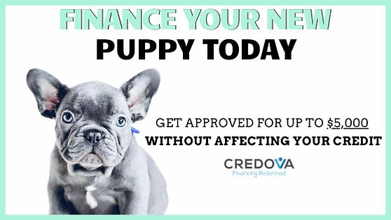 french bulldog puppy finance