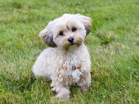 morkie-adult.png