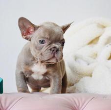 isabella lilac french bulldog