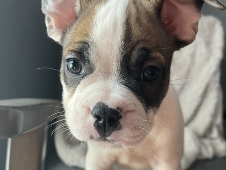 Bronco The French Bully