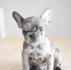 Blue Merle French Bulldog in Texas