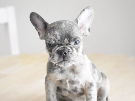How  to Treat Frenchie's with Bad Breath