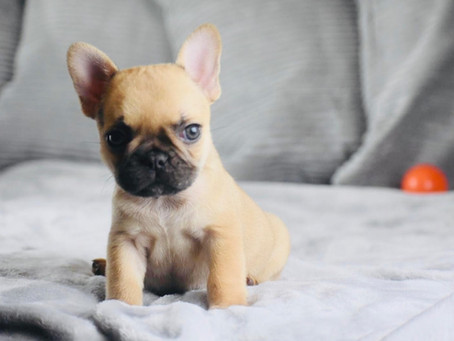 French Bulldog Puppies in Houston Texas