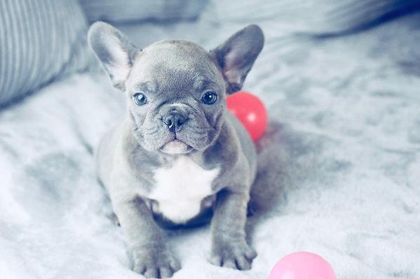 micro french bulldog texas