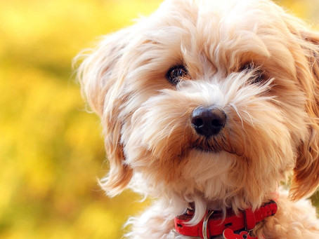 Why Deposits are Required for a Maltipoo Puppy