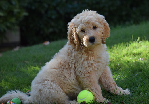 goldendoodle-playing.png