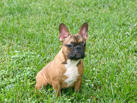 Block the Fawn Frenchie