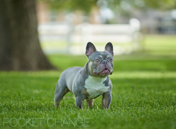 Pocket Change Micro French Bulldog
