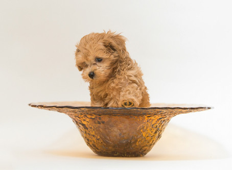 How to feed my Maltipoo