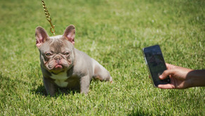 What is an Isabella Lilac French Bulldog?