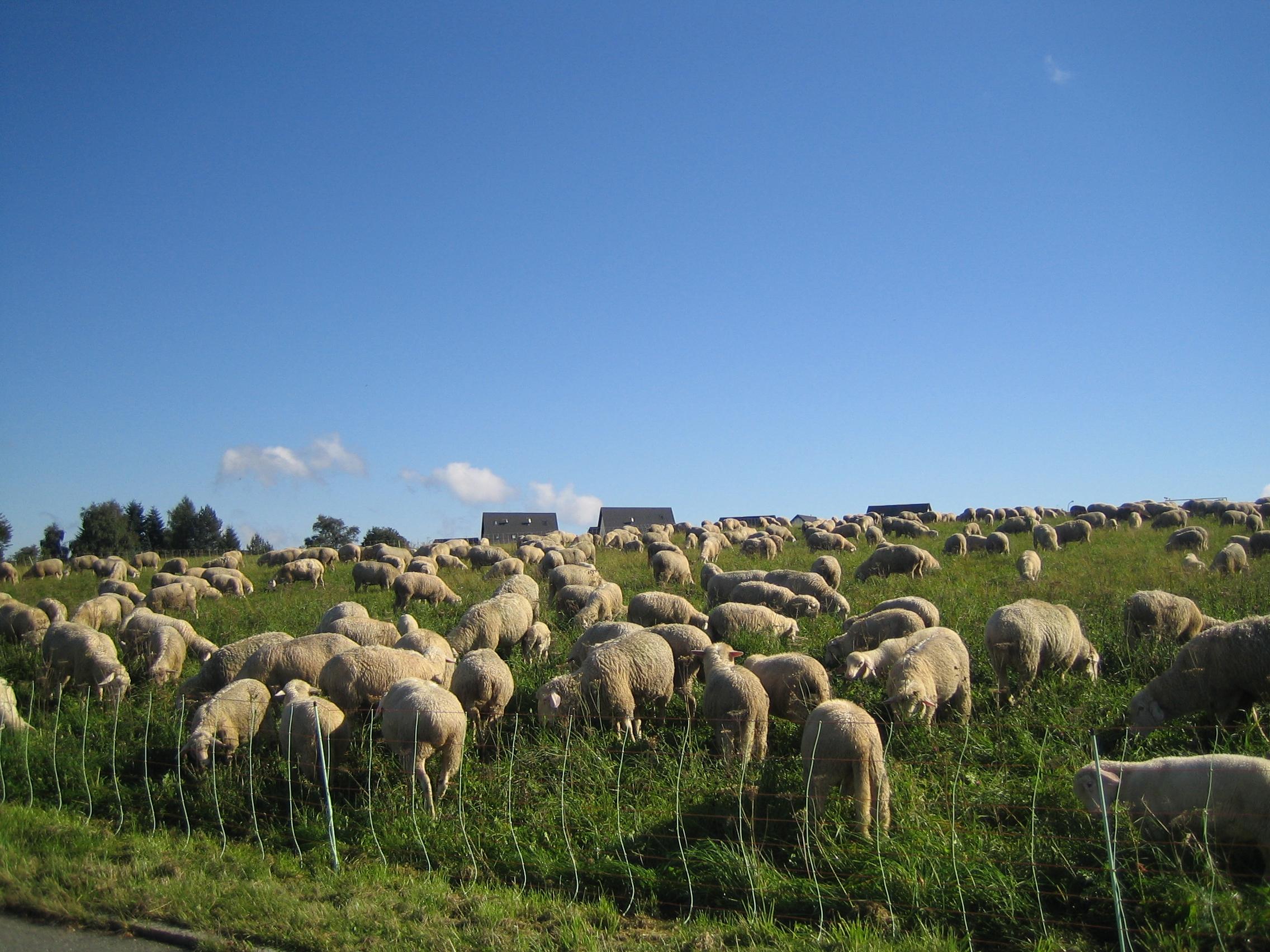Schafe ohne Ende
