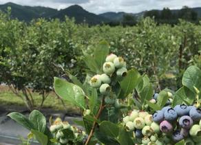 Blueberries present a retail bargain