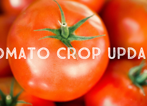 Strong consumer demand props up tomato market