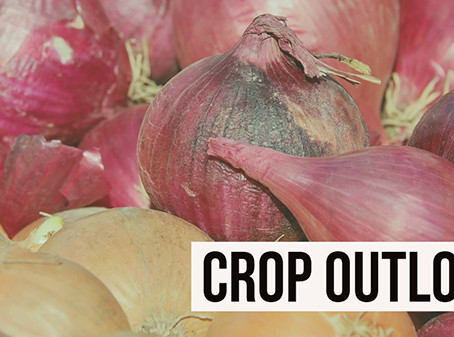 Steady onion market welcomes new crop