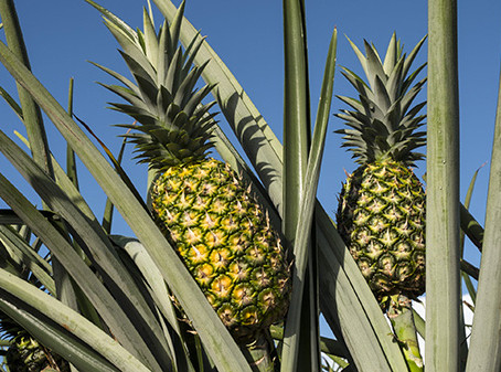 Pineapple market disaster continues