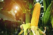 news-corn-07-1.jpg