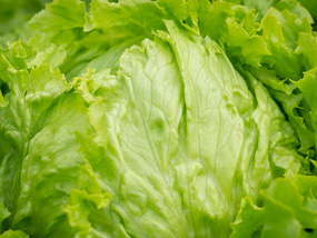 A look ahead to the winter iceberg lettuce market