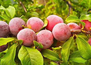 Plums peak with higher volumes, steady prices