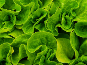 Lettuce market keeps rising above the challenges