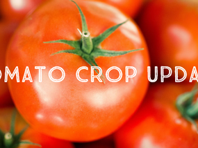 Tomato prices rise, showing signs for strong Q4