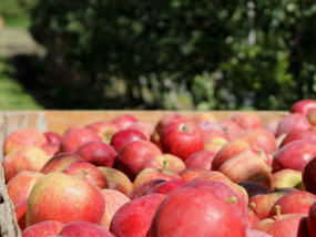 Lower apple prices at harvest time