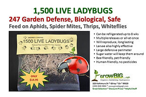 Live Ladybugs at GrowBIGogh