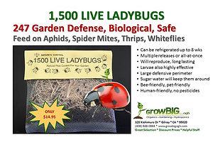 Live Ladybugs at GrowBIGogh