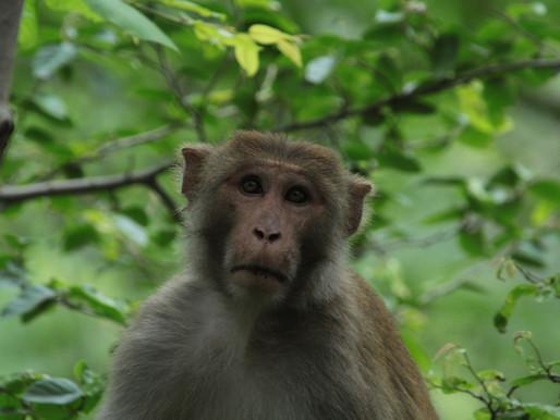 Monkey see, monkey do: over apen en bedrijfscultuur.