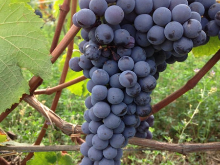 Getting to know Pinot Noir…