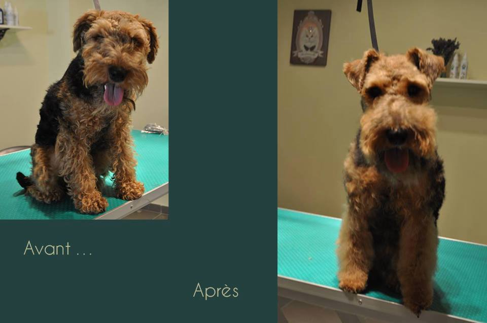 Welsh terrier - Gaufrette