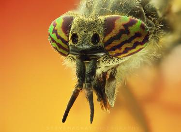 Cleg Fly