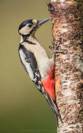 Grest spotted Woodpecker