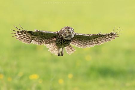 Little Owl in Flight