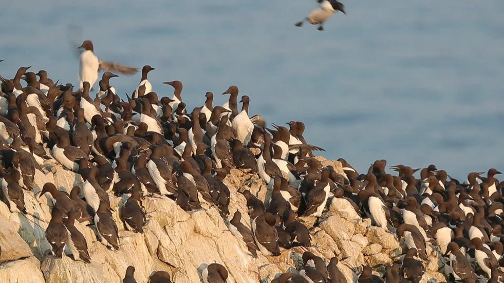 Skomer Birds
