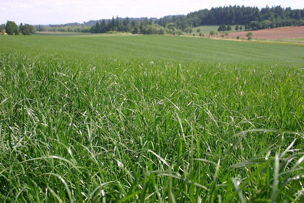 Perinnial Rye Grass Field.JPG